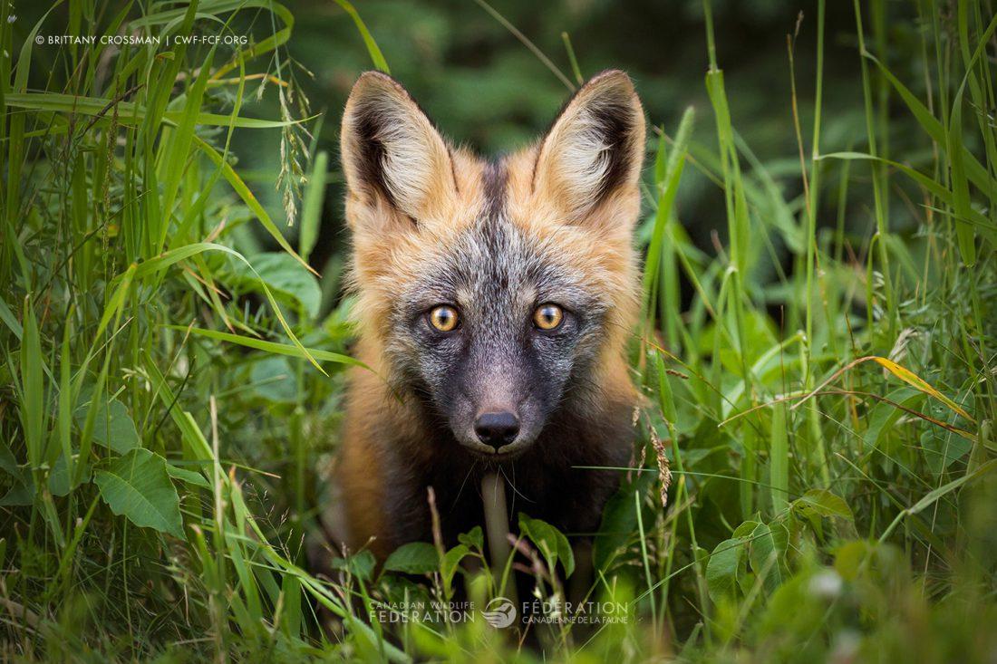 """""""Red Fox"""" by Brittany Crossman"""