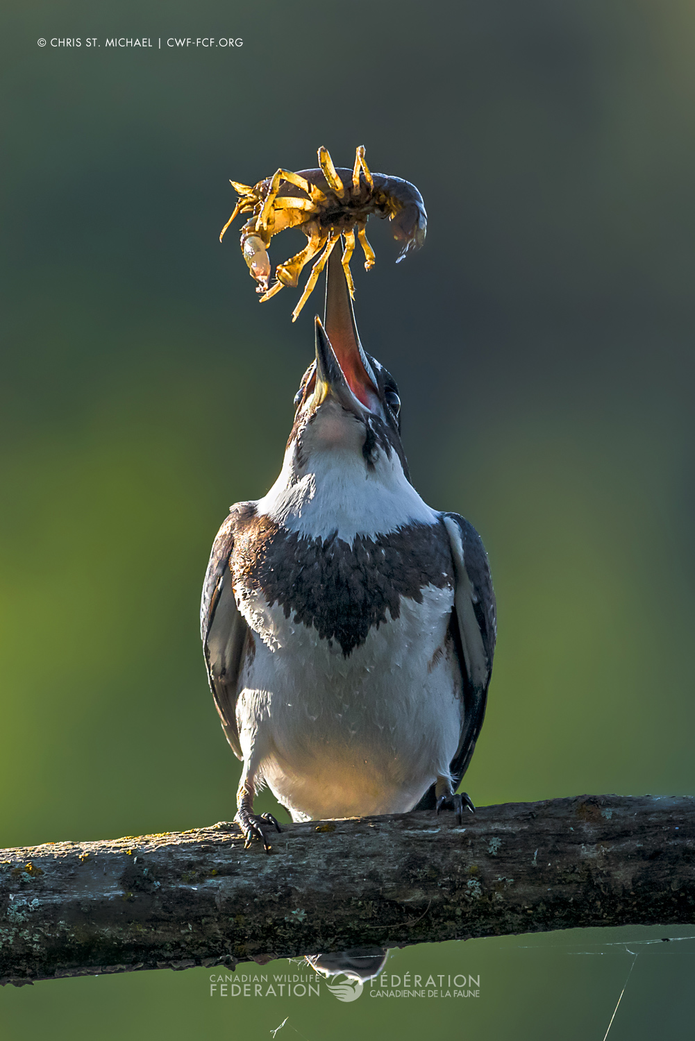 """""""Kingfisher and the Crayfish"""" by Chris St. Michael"""