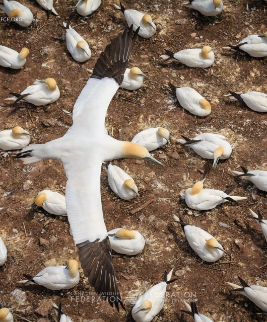 """""""Northern Gannet"""" by Jacques-Andre Dupont"""