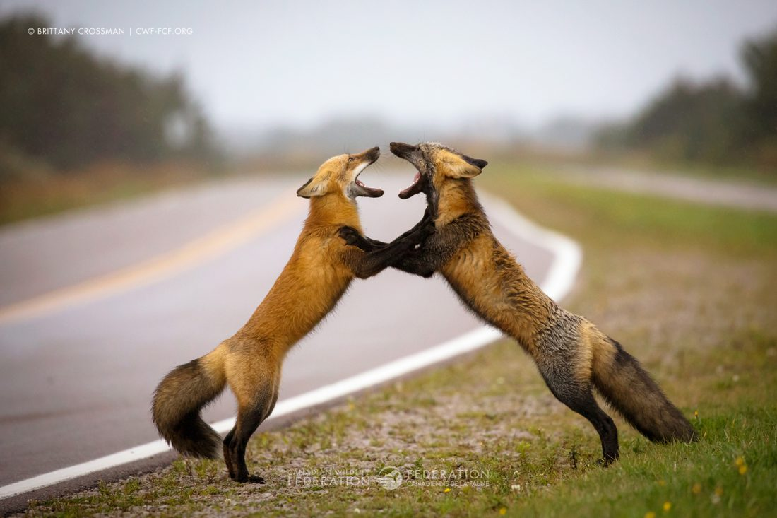 """Two sibling foxes squabble"" by Brittany Crossman"