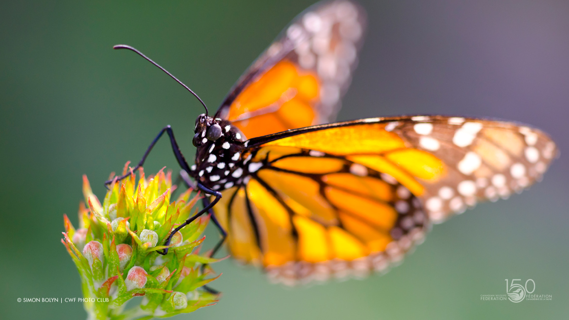 A Good Start for Monarchs