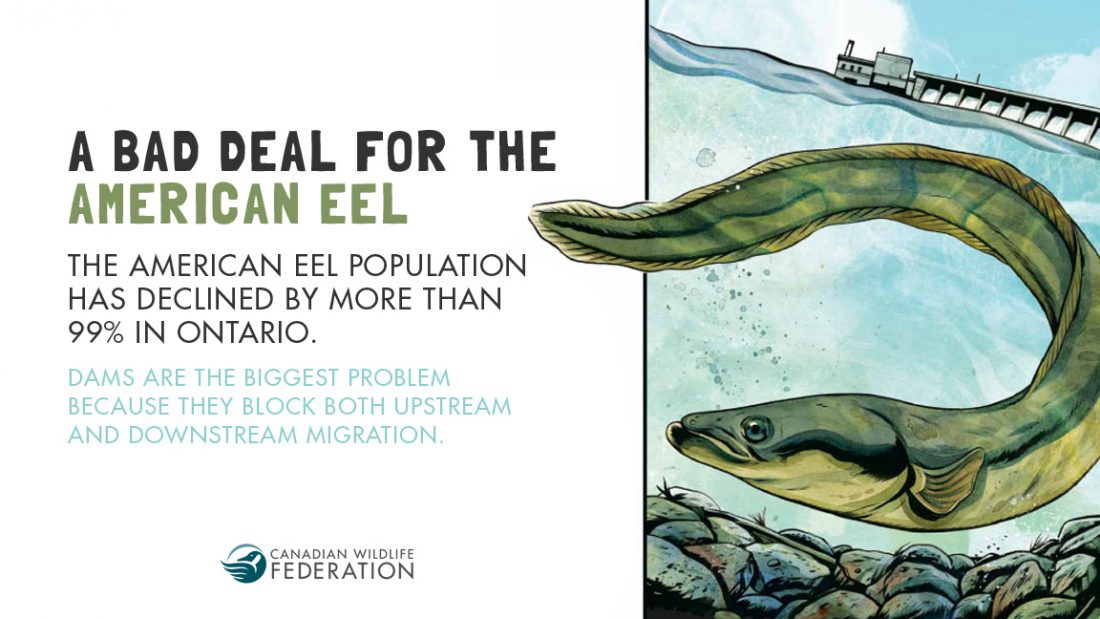 A Bad Deal for the American Eel