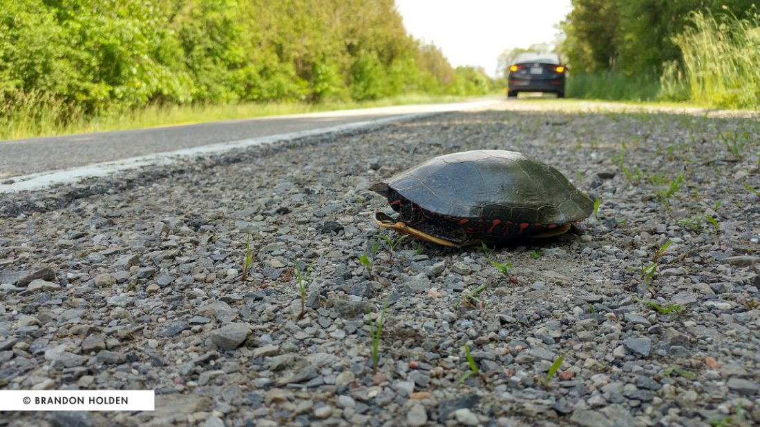 Turtles evolved as a species long before cars were invented, so they don't naturally know about vehicles and the danger they present.
