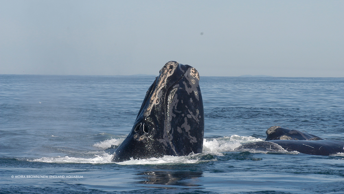 Saving the North Atlantic Right Whale