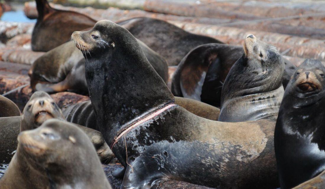 Sea Lion Entanglement