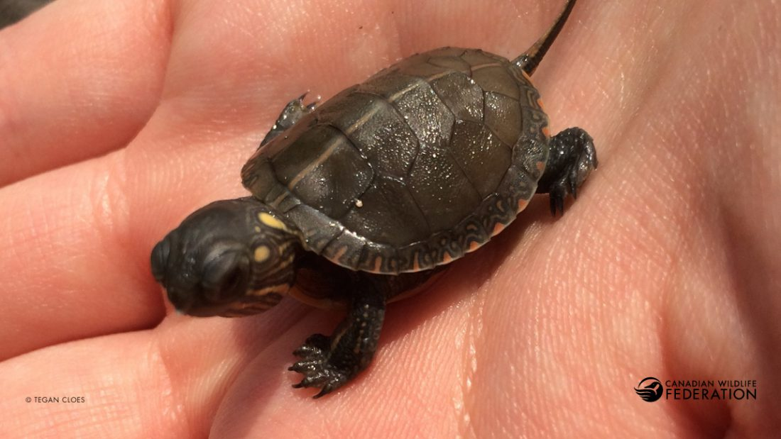 Painted Turtle Hatchling © Tegan Cloes