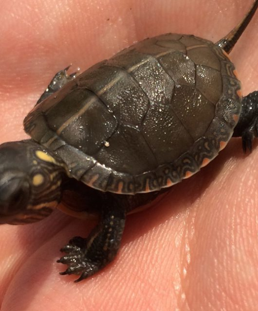 Painted Turtle Hatchling © Tegan Cloes