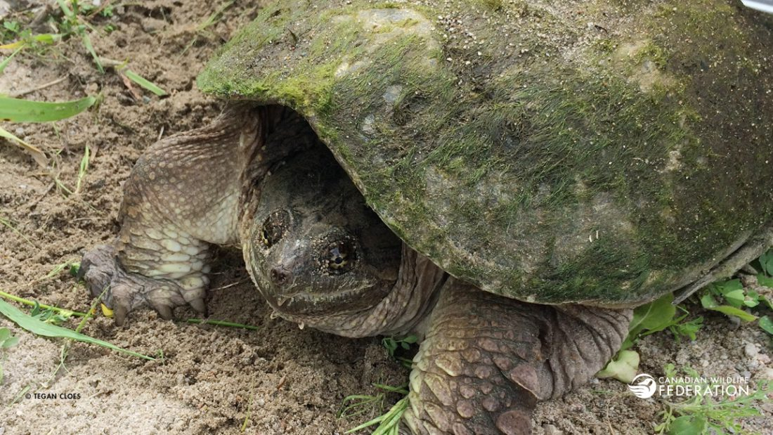 Snapping Turtle © Tegan Cloes