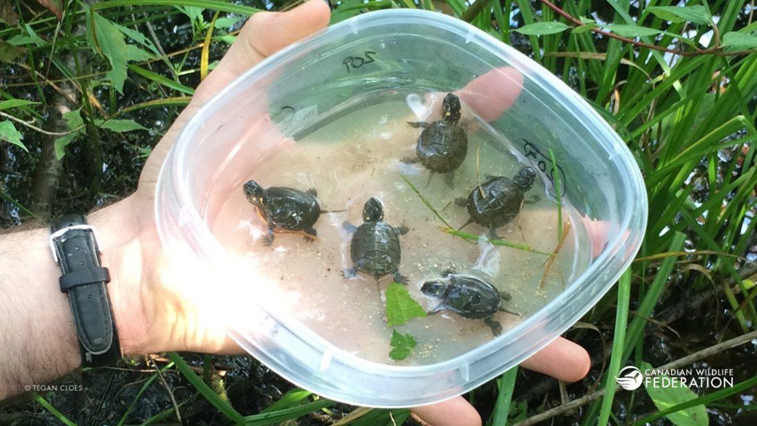 Painted Turtle Hatchlings © Tegan Cloes