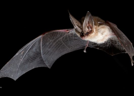 © Brock Fenton | Townsends Big-eared Bat (Corynorhinus townsendii)