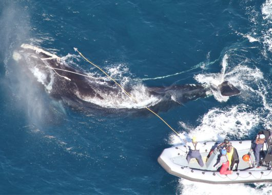 Right Whale Entanglement