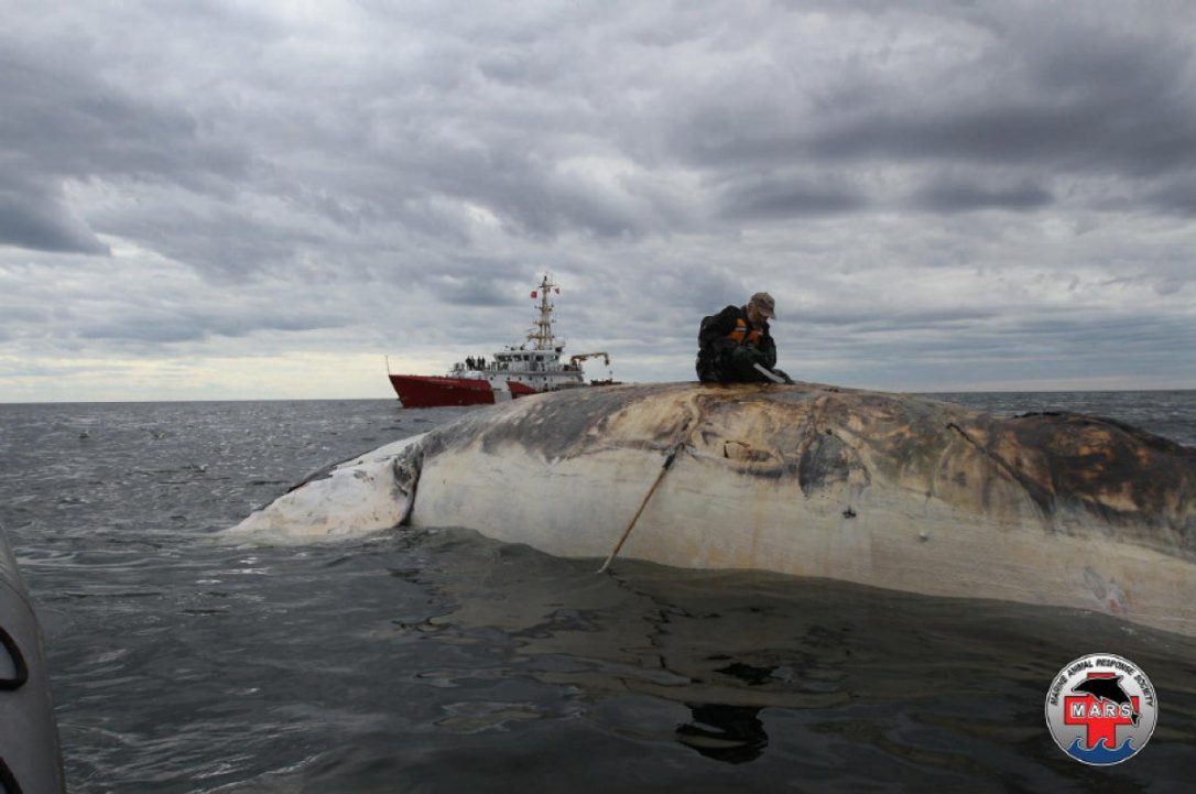 On a Collision Course: CWF Investigates Small Vessel Impact on North Atlantic Right Whales