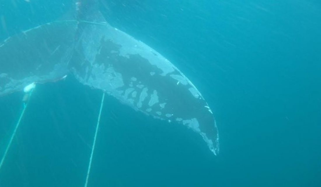 Entangled Humpback Whale in Conception Bay, NL