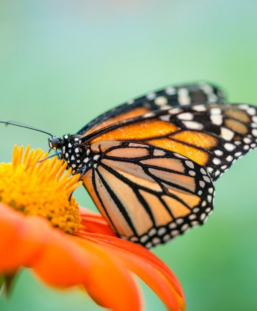 monarch on orange flower