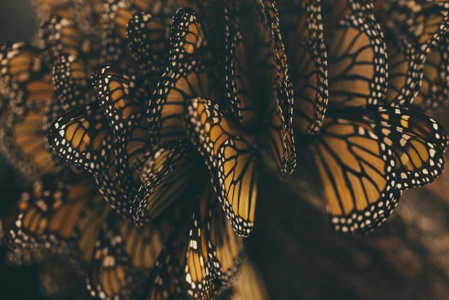 Monarchs grouped