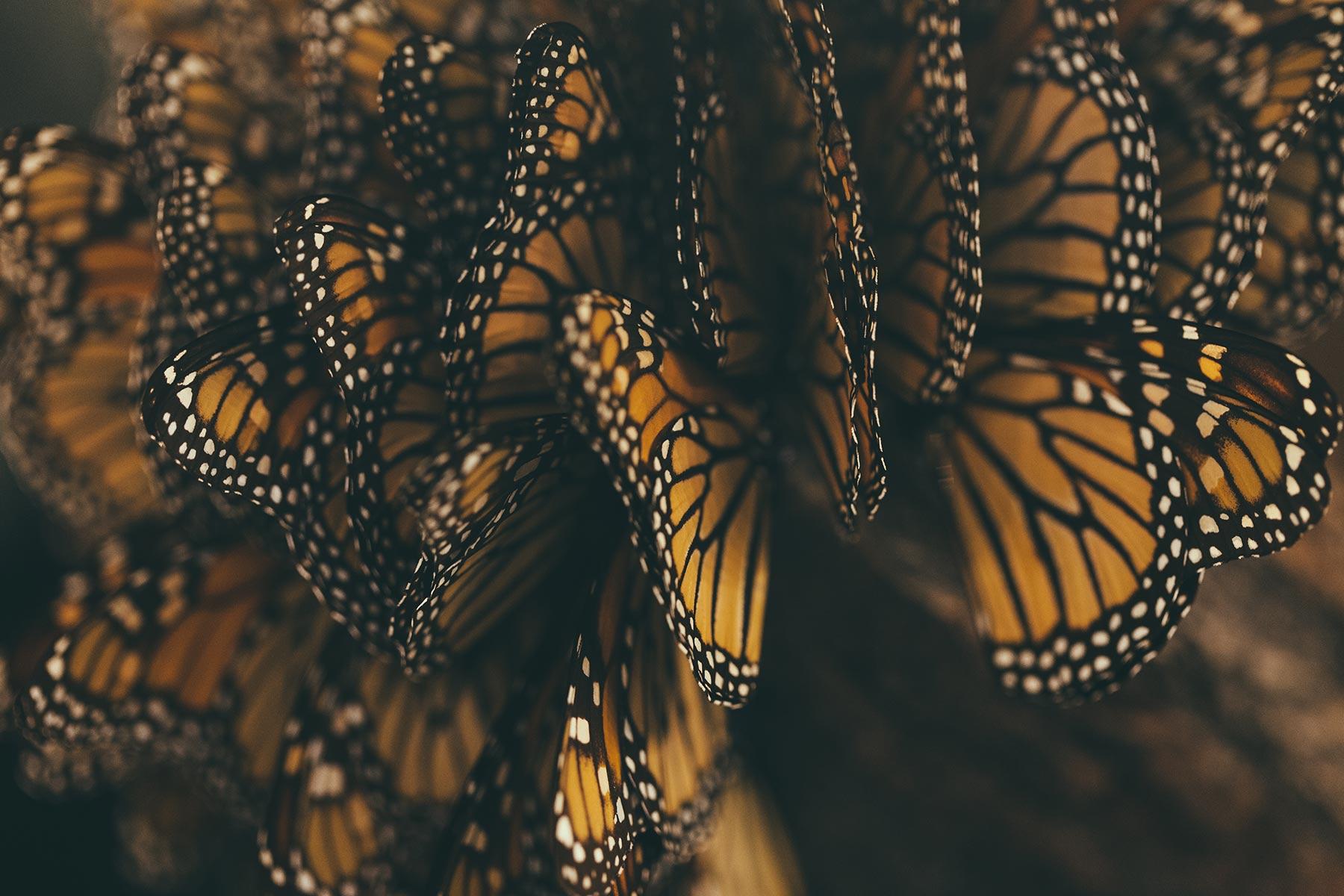 Monarch Butterflies Hit Hard This Winter