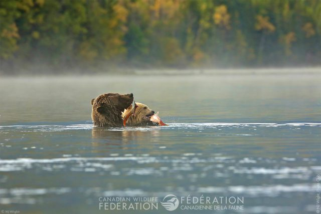 bears snacking on salmon