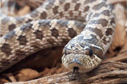 Western Hog-nosed Snake