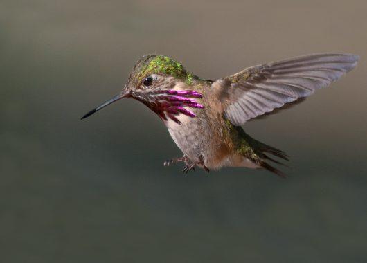 Hummingbird by Mimi Lo, BC