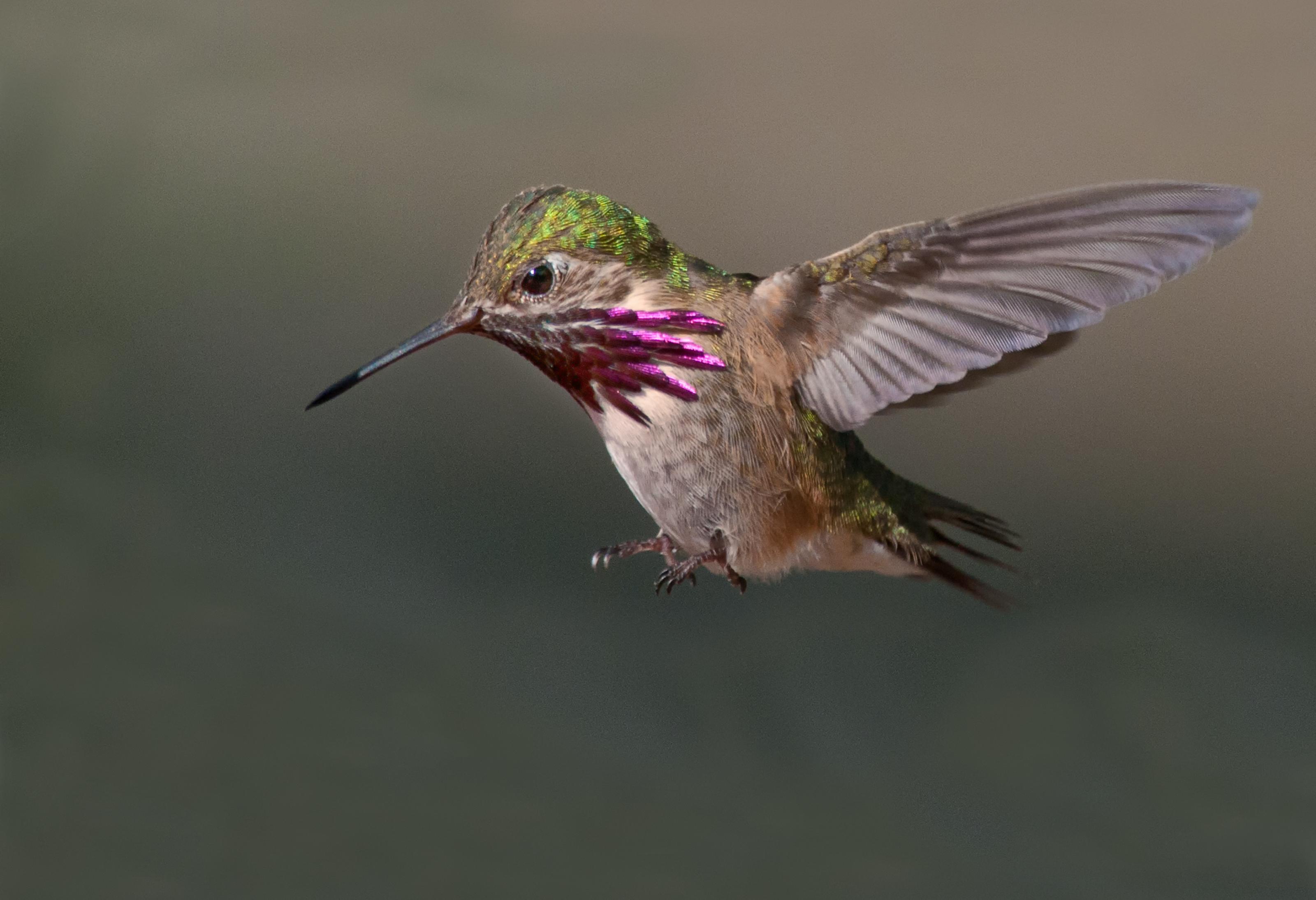 Pour les colibris, la vie est une question de variété – Galerie de photos