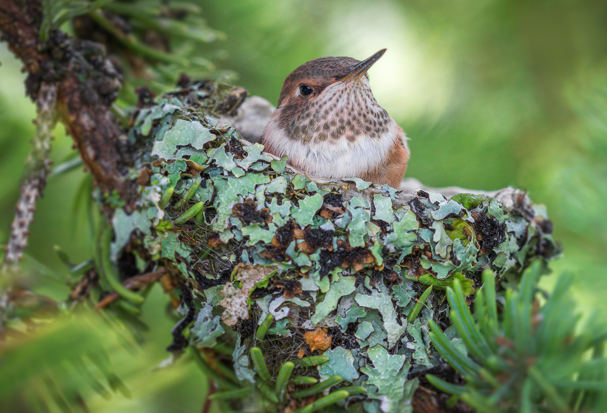 Canadian hummingbirds must have trees for nesting and resting. © Nadia Boudreau, CWF Photo Club