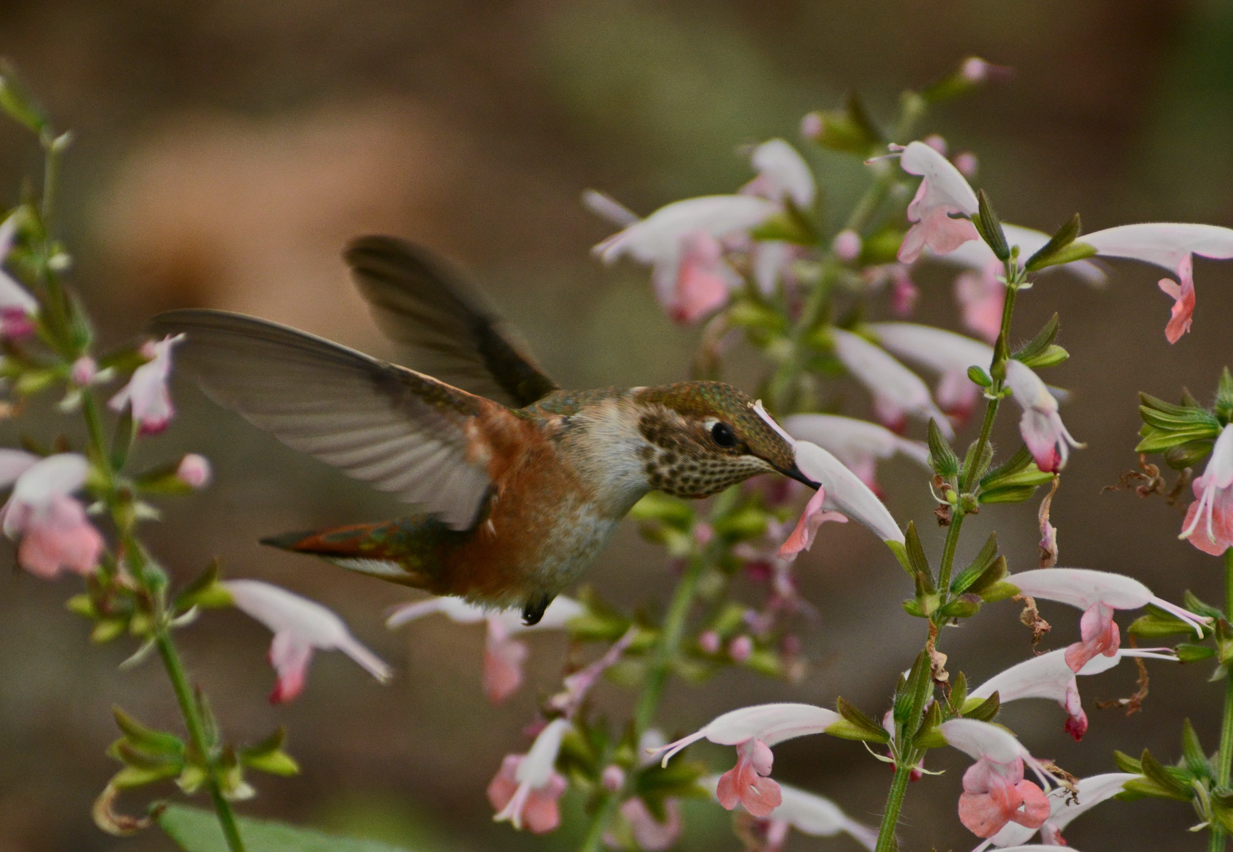 Hummingbird feeding © Tania Simpson