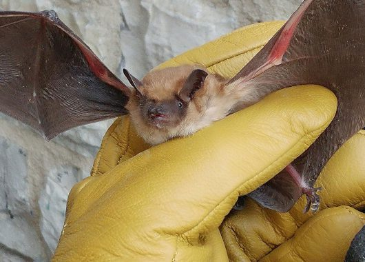 Rescuing 46 Big Brown Bats from freezing to death.