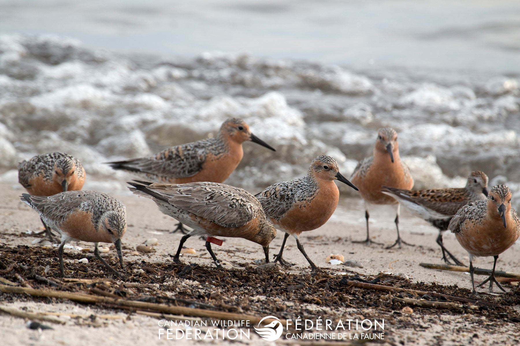 At-risk migrator, the red knot, searches for treats on the Jersey Shore.