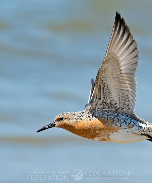Red Knot flying