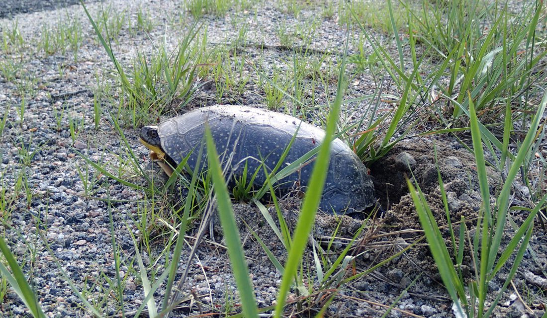 Blanding's Turtle nesting by the road © Hannah McCurdy-Adams