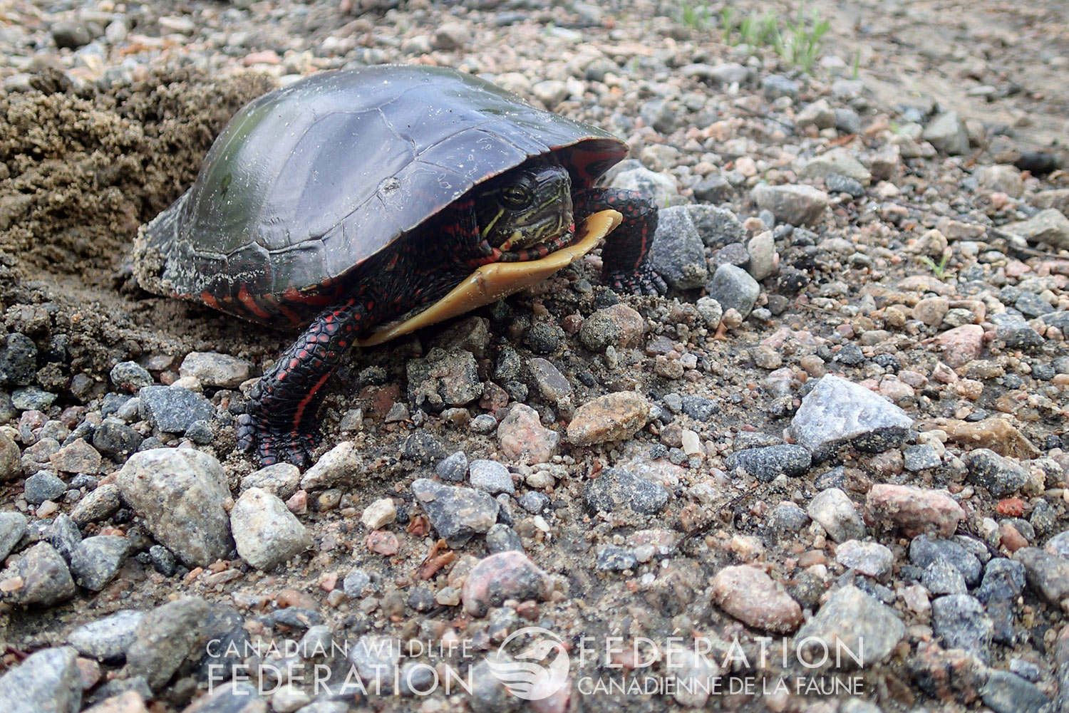 Painted turtle nesting @ Hannah McCurdy-Adams