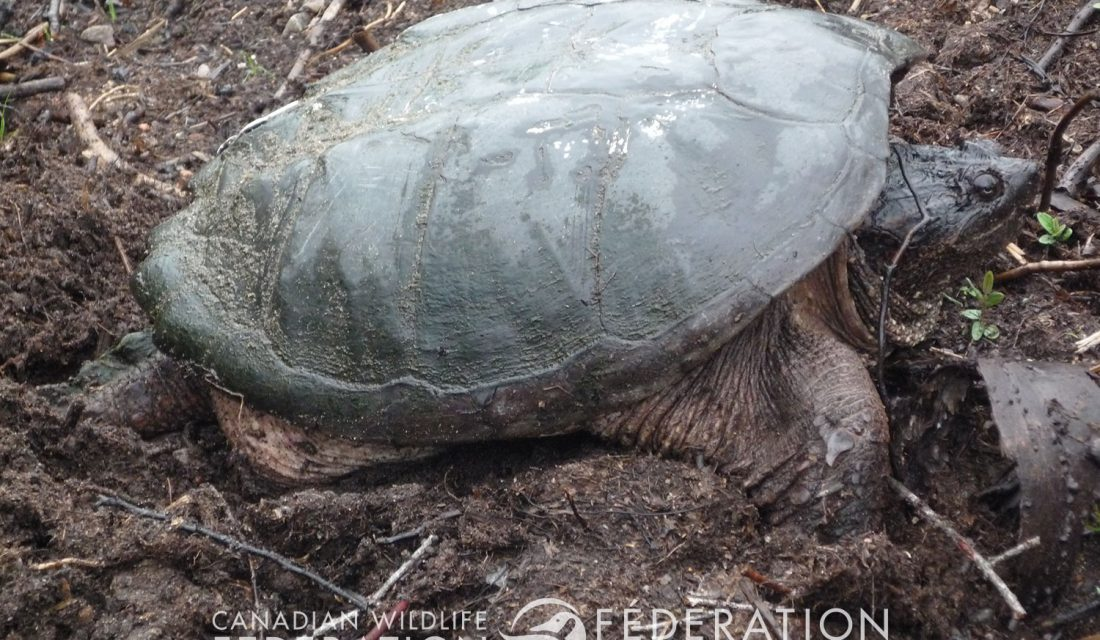 Nesting Snapping Turtle © Hannah McCurdy-Adams