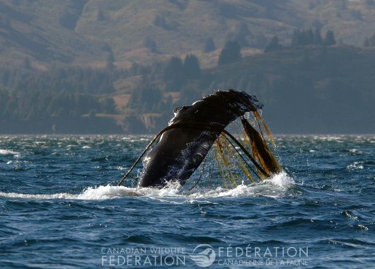 whale entangled
