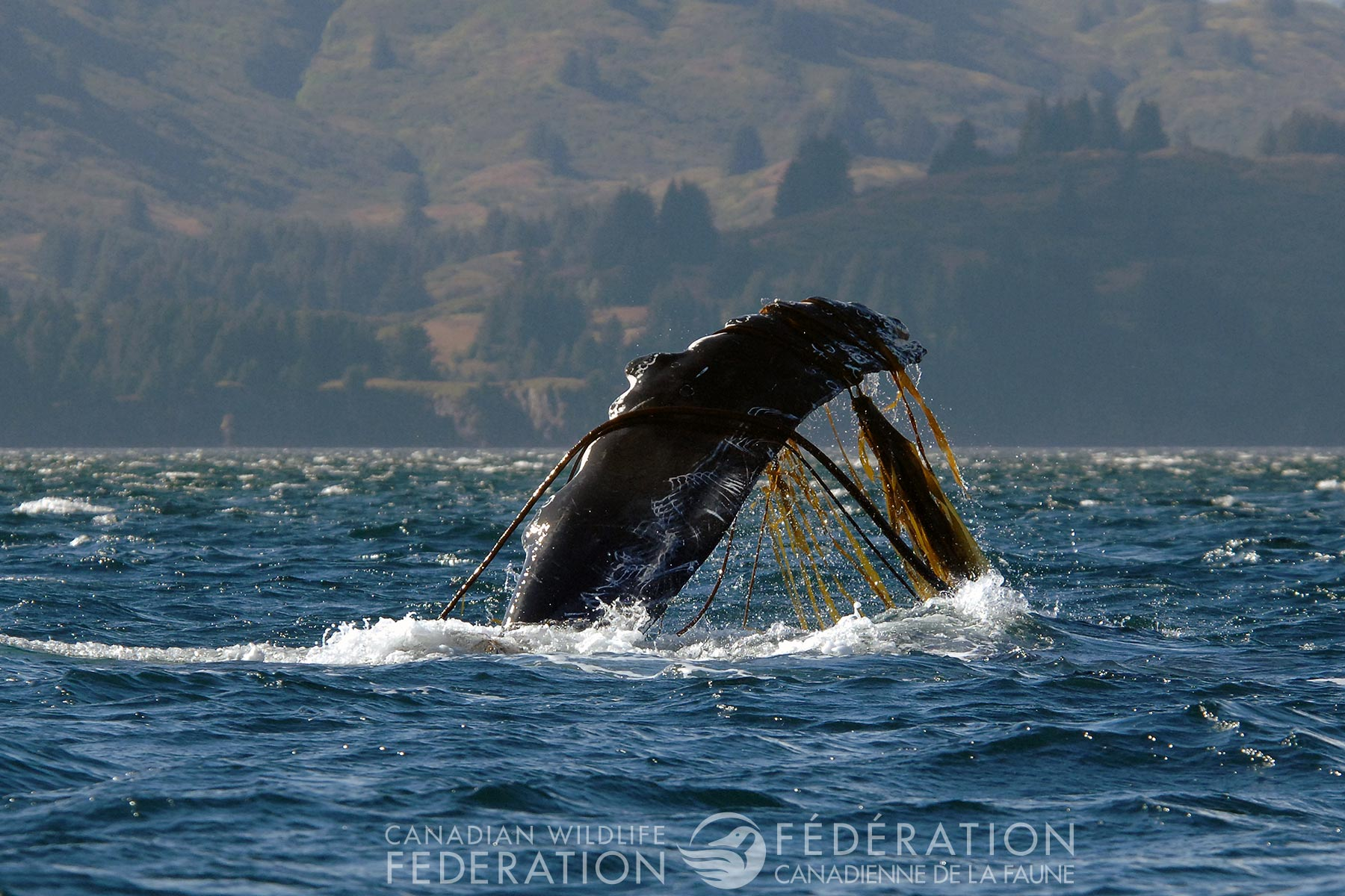 All Caught Up — Disentangling Whales in Newfoundland and Labrador