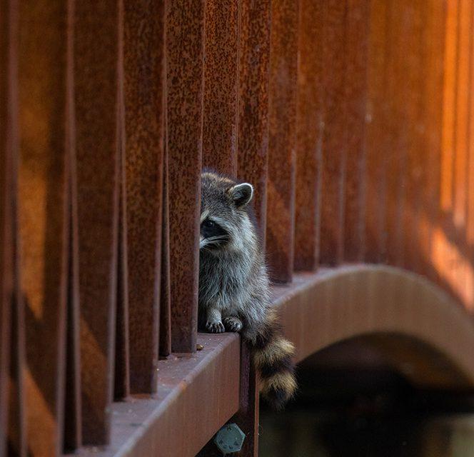 Raccoon on bridge @Philip Childs-David   Reflections of Nature Photo Contest Winner 2017