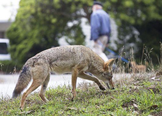 coyote urban area @cbc.ca