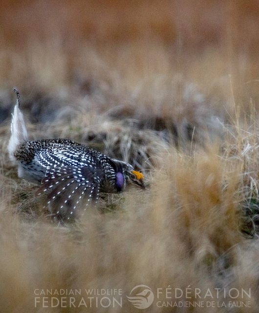 sharp tailed grouse on the lek