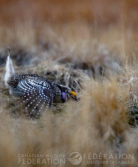 sharp tailed grouse on the lek