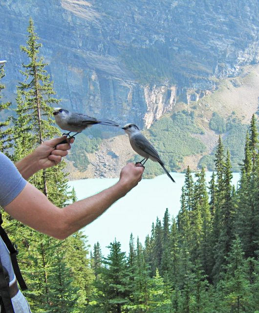 Connecting with gray jays in Banff National Park @Mary Hindle | CWF Photo Club
