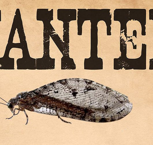 giant lacewing wanted poster header