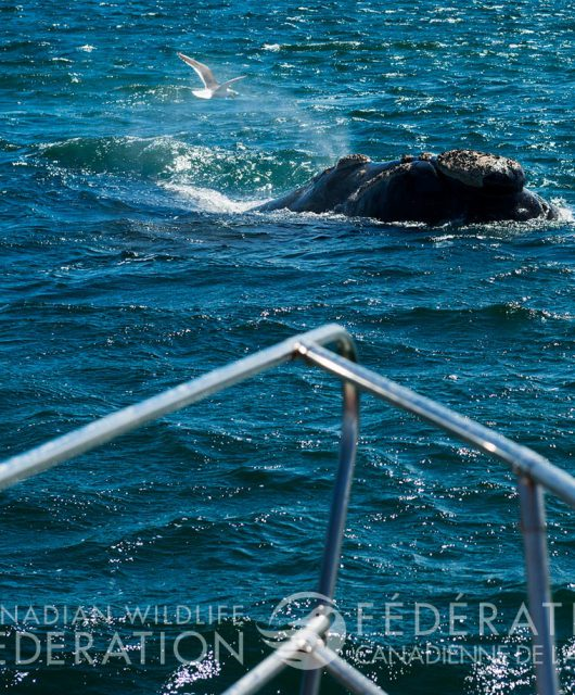 Less is known about the impact small vessels have on right whales