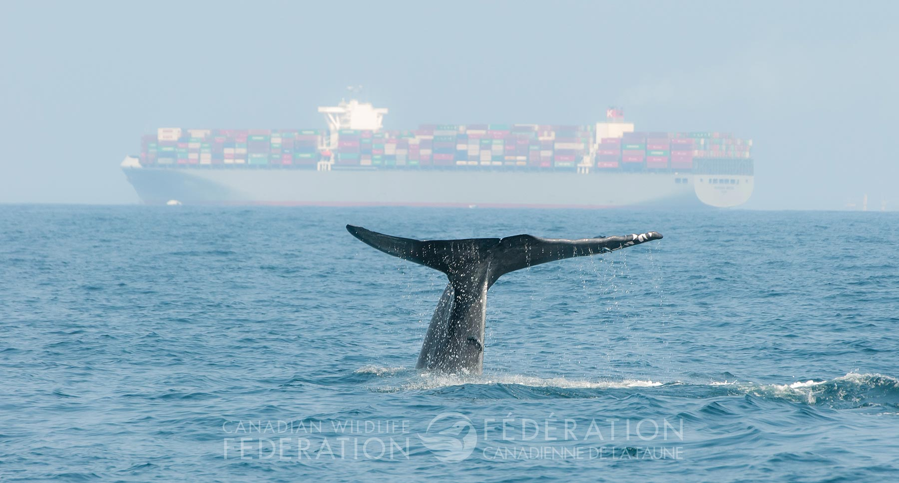 Whales are are dwarfed by large ocean-going vessels.