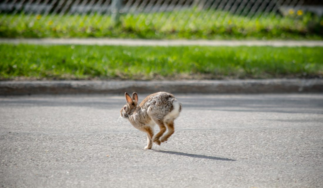 rabbit crossing road