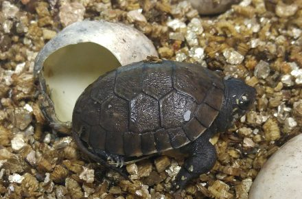 A Blanding's Turtle just hatched