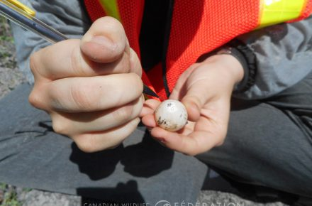 Labelling snapping turtle eggs