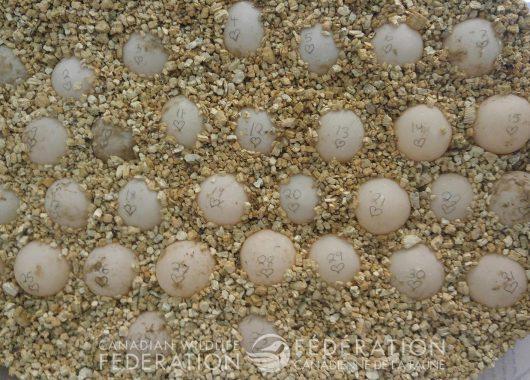 turtle eggs for incubator