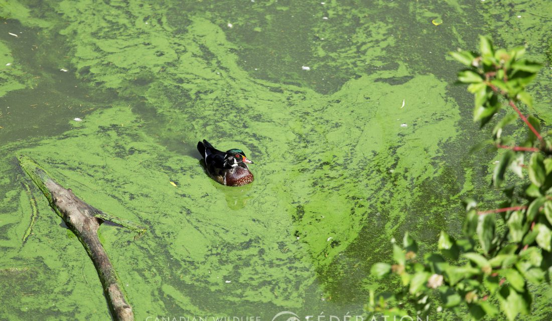 Freshwater algal bloom