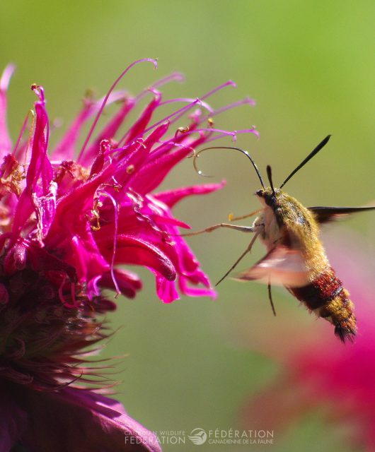 Clearwing hummingbird moth @ Dave Stacey | CWF Photo Club