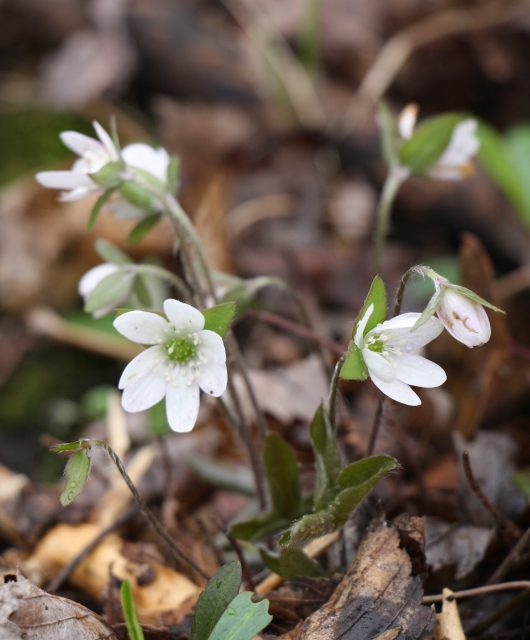 Hepaticas are pretty and have a soft fur to protect their parts from the still cold temperatures of early spring.
