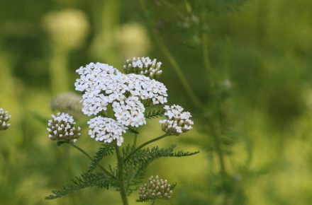 Common Yarrow have small flowers that are perfect for our tinier pollinators.